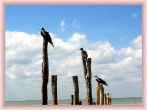 Holbox Island  photos of birds on stakes